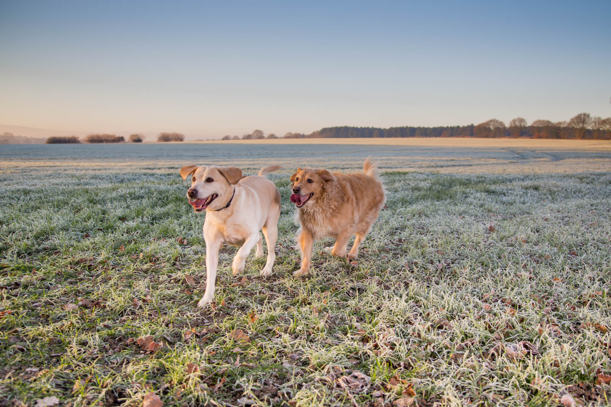 2 dogs running on the frozen ground in winter