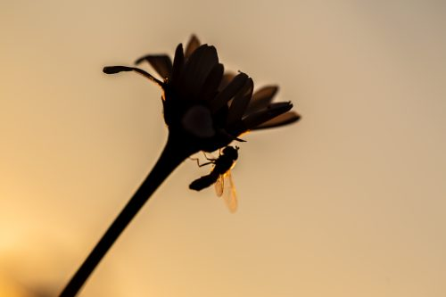 A silhouette of a Hoverfly on the side of a Daisy