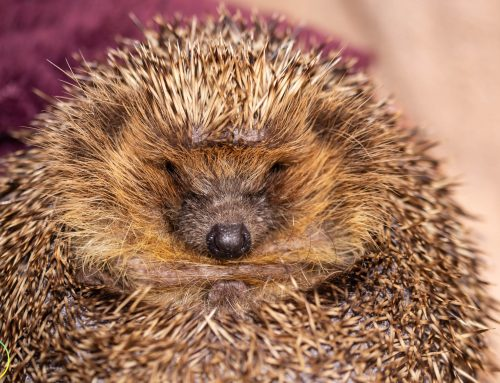 Castleford Hedgehog Rescue
