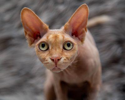 sphynx cat siavash theo