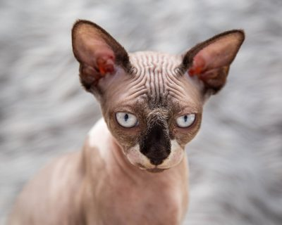 sphynx cat siavash pearl